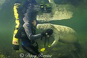 scuba diver gets a kiss from Florida manatee, Trichechus manatus latirostris,  Crystal River National Wildlife Refuge, Crystal River, Florida, USA, North America