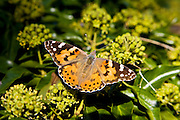 Painted Lady butterfly, the Cotswolds, Oxfordshire, United Kingdom
