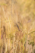 Organic Naked Barley Blend (OLBB)