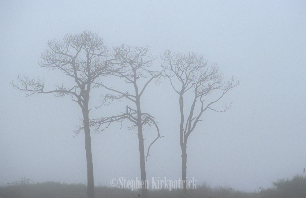 Foggy Morning Trees in field - Mississippi