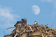 Two young osprey sitting in their nest below the moon.