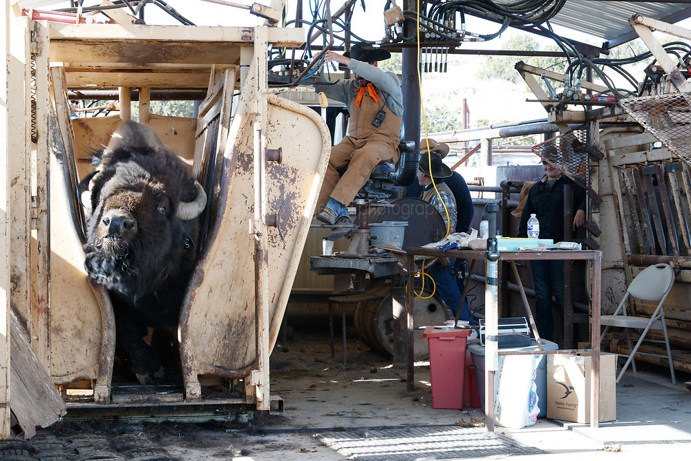 Bison leaving head gate after treatment during bison roundup, Ladder Ranch, west of Truth or Consequences, New Mexico, USA.