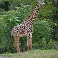 Giraffe at the Pittsburgh Zoo