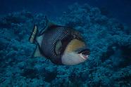 Balistoides viridescens (Titan triggerfish)