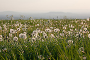 Meadow of Dandelion (Taraxacum) and Cow parsley (Anthriscus sylvestris (L.) Bernh). Half seeded dandelion clock and parachute balls  with Chosen Hill (R) and Nut Hill (L) visible in the distance Gloucestershire, England