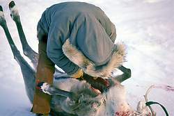 Gutting Caribou After Kill
