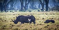 Rhino at Lake Nakuru, Kenya.