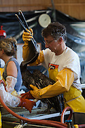 Brown Pelicans being cleaned at Fork Jackson by employees of Tri- State Bird Rescue hired by BP to be in charge of bird rescue. <br /> Tri-State Bird Rescue and Research lab in Buras, Louisiana where birds coverred in BP oil are brought to be cleaned and rehabilitated.