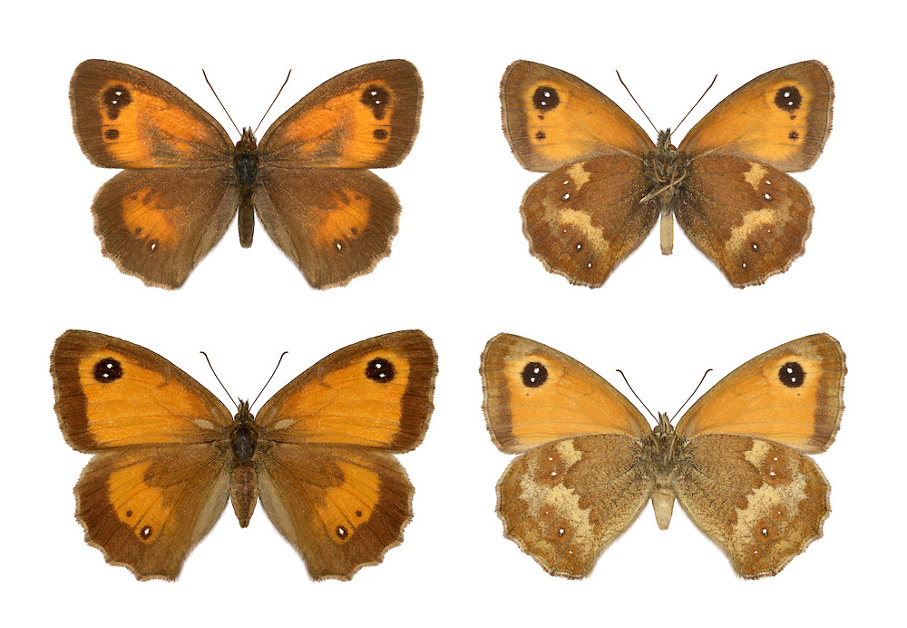 Gatekeeper - Maniola tithonius - male (top row) - female - bottom row. Wingspan 40mm. A classic hedgerow and wayside butterfly, and a sign that summer has arrived; often feeds on Bramble flowers. Adult has brown upperwings with broad orange patches and an eyespot with twin highlights on the forewing. Underside of hindwing is marbled brown and buffish-white; forewing has large orange patch with an eyespot. Flies July–Aug. Larva feeds on grasses and is nocturnal. Locally common in central and southern England and Wales, and southern Ireland.