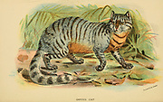 The African wildcat (Felis lybica) [Here as Caffre Cat (Felis caffra)] is a small wildcat species native to Africa, West and Central Asia up to Rajasthan in India and Xinjiang in China. From the book ' A handbook to the carnivora : part 1 : cats, civets, and mongooses ' by Richard Lydekker, 1849-1915 Published in 1896 in London by E. Lloyd