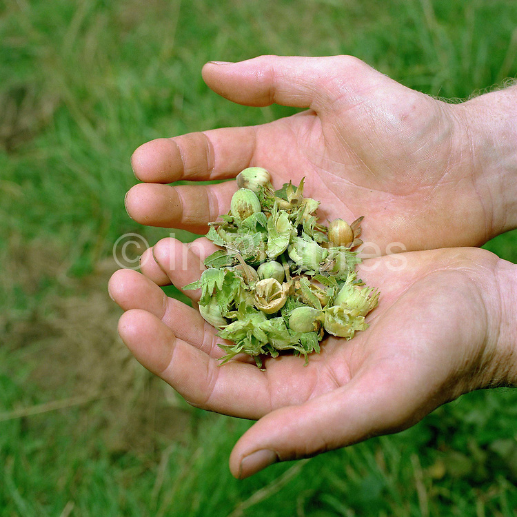 The hands of a conservation volunteer holding the seeds of a hazel tree (hazelnuts) gathered from the hedgerows around the Castle Howard Estate in North Yorkshire, UK. The seeds will be planted and grown on at the Estate's arboretum and eventually planted out to make more trees and hedges in the Howardian Hills. Castle Howard Estate is in the Howardian Hills AONB, a landscape with well-wooded rolling countryside, patchwork of arable and pasture fields, scenic villages and historic country houses with classic parkland landscapes.