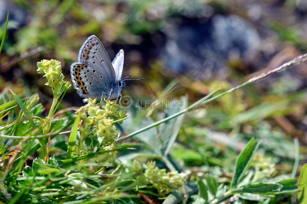 Northern blue (Plebejus idas) from Sognefjellet (1100 m), Jotunheimen, Norway in July.