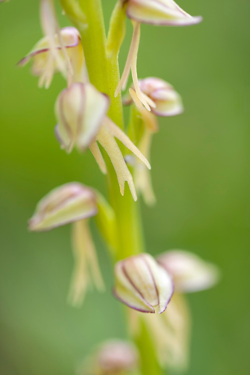 Man Orchid detail