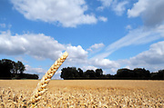 Corn fields in Beauce, countryside of France. Champ de Blé,  Beauce, France.