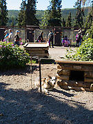 Visitors explore the Denali Kennels and learn about their sled dogs; Denali National Park, Alaska.