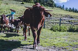 THEMENBILD - Kühe (Pinzgauer Rind) auf einem Alm, aufgenommen am 13. Juni 2020 in Goldegg, Oesterreich // Cows (Pinzgauer cattle) on a mountain pasture, Austria on 2020/06/13. EXPA Pictures © 2020, PhotoCredit: EXPA/Stefanie Oberhauser