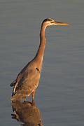 Great Blue Heron wading at sunrise.(Ardea herodias).Bolsa Chica Wetlands,California