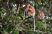 Family of Proboscis Monkeys (Nasalis larvatus) by Kinabatangan River, Sabah