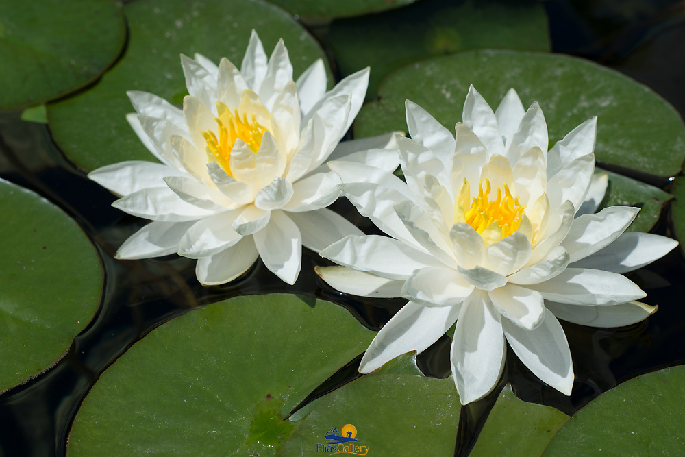 Water Lillies in sunlight.