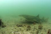 smalltooth sawfish or wide sawfish, Pristis pectinata ( Critically Endangered Species ), Florida Bay, Everglades National Park, Florida, USA