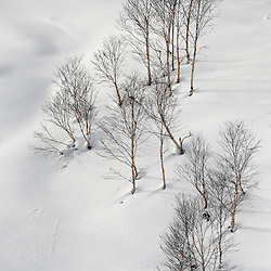 HANAZONA BIRCH TREES