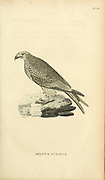 Milvus ictinus bird off prey from volume XIII (Aves) Part 2, of 'General Zoology or Systematic Natural History' by British naturalist George Shaw (1751-1813). Griffith, Mrs., engraver. Heath, Charles, 1785-1848, engraver. Stephens, James Francis, 1792-1853 Published in London in 1825 by G. Kearsley
