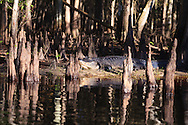 An American Alligator (Alligator mississippiensis) nestles among cypress knees on the banks of Fisheating Creek in the Fisheating Creek Wildlife Management Area, Florida. WATERMARKS WILL NOT APPEAR ON PRINTS OR LICENSED IMAGES.