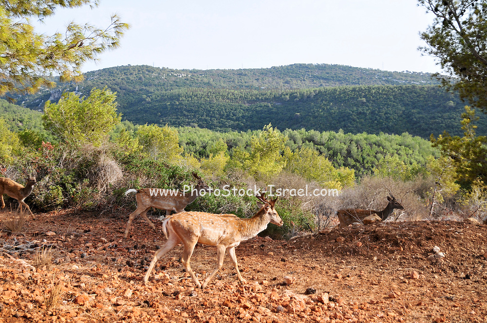 Israel, Carmel Mountains, Persian Fallow Deer (Dama dama Mesopotamica)