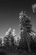 Ponderosa trees in the high desert of Central Oregon. ©Michael Durham