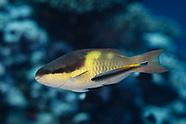 Scarus oviceps (Egghead Parrotfish)