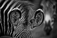 Unmistakable Grevy's Zebra ears.