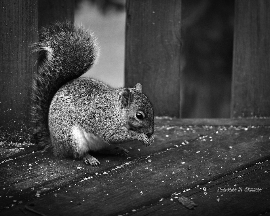 """I captured this image of an Eastern Gray Squirrel in my back yard on November 4th, 2019. I was watching a squirrel feeder on my deck and found this squirrel eating corn dropped from the feeder above. Even though it stayed for only a minute, I was able to capture this image of it eating before it left. I photographed it in black and white because there was not much light available as it was the evening and I wanted more contrast, and the deck has little color as well. What I like the most about this image is how pronounced the fine detail of the squirrel's fur is and how sharp the outline is around it's eye.  <br /> <br /> Printed on Hahnemühle German Etching paper and Breathing Color canvas. Limited to 40 productions per size and type.<br /> <br /> Prints are available in 20"""" x 16"""", 30"""" x 24"""", and 40"""" x 32"""" sizes.<br /> <br /> Gallery canvas wraps are available in 20"""" x 16"""", 30"""" x 24"""", and 40"""" x 32"""", each with semi-gloss and matte lamination."""