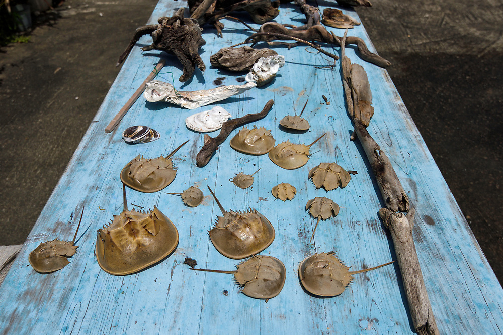 Beach findings with shells fron the chinese horseshoe crab, Tachypleus tridentatus, Ha Pak Nai is a wetland area, mud-bank in the Yuen Long District facing Deep Bay, New territories, Hong Kong, China. Horseshoe crabs are not crabs at all, but are most closely related to spiders, scorpions and trilobites. Tachypleus tridentatus is a species of horseshoe crab found in the seas off China, Indonesia, Japan, South Korea, Malaysia, the Philippines, Taiwan, and Vietnam. IUCN status is; data deficient.<br /> This Image is a part of the mission Wild Sea Hong Kong (Wild Wonders of China).