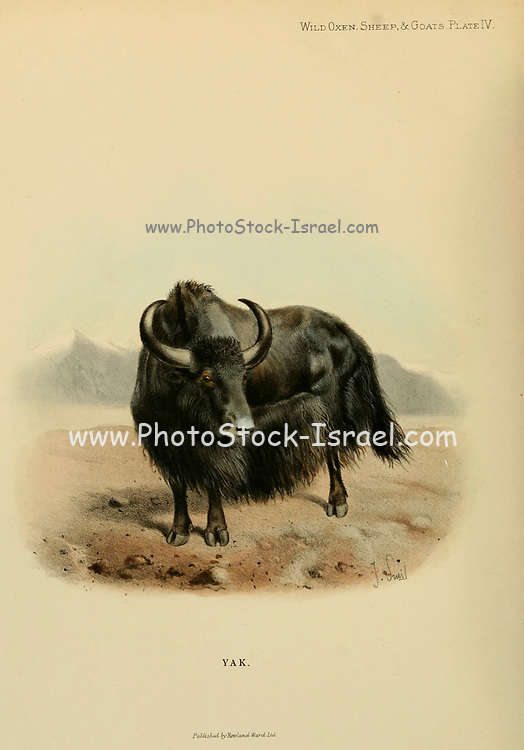 The domestic Yak (Bos grunniens) colour illustration From the book ' Wild oxen, sheep & goats of all lands, living and extinct ' by Richard Lydekker (1849-1915) Published in 1898 by Rowland Ward, London