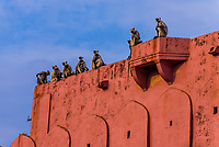 Langur monkeys atop a wall at the Jaigarh Fort, near Jaipur, Rajasthan, India.
