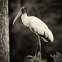 Wood Stork in Big Cypress National Preserve in Florida. Image taken with a Nikon Df and 400 mm f/2.8 lens (ISO 400, 400 mm, f/2.8, 1/640 sec). Image converted to B&W with Capture One Pro 7.