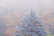 Spruce tree, autumn forest in fog, Cheshire County, New Hampshire, USA
