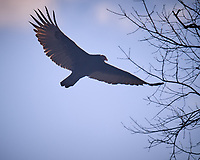 Turkey Vulture Soaring. Image taken with a Nikon D5 camera and 600 mm f/4 VR lens (ISO 100, 600 mm, f/4, 1/1600 sec).