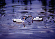 Pair of trumpeter swans, Cygnus buccinator, on beaver pond, southern part of the Yukon Territory, Canada.