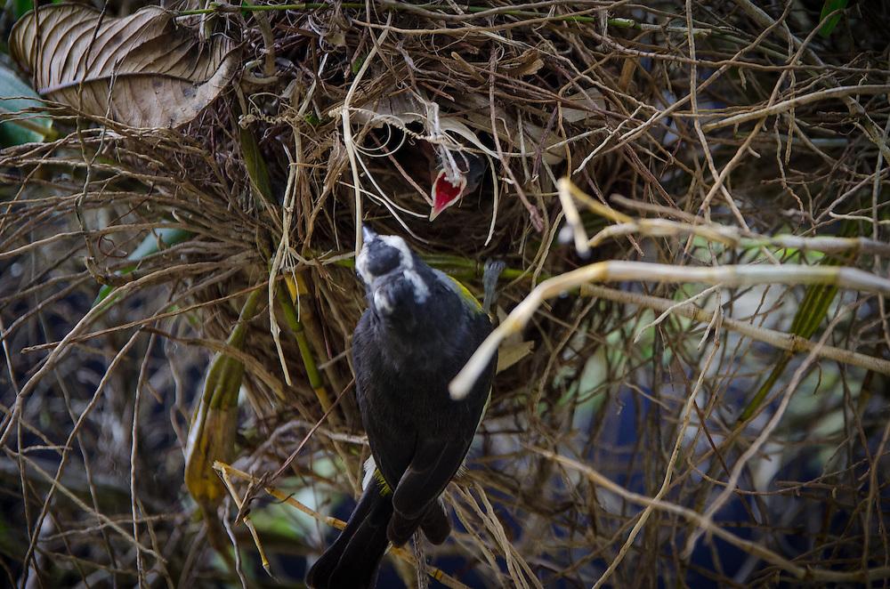 2015-05-08-Trujillo Alto, Puerto Rico- Reintia con pichones  en su nido. Tanager and its pigeons on the nest.