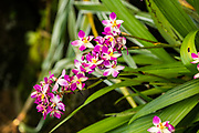 Close up of a flowering Pink Orchid at the botanic garden on Mahe Island, Seychelles