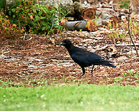 American Crow. Image taken with a Nikon D4 camera and 600 mm f/4 VR lens.