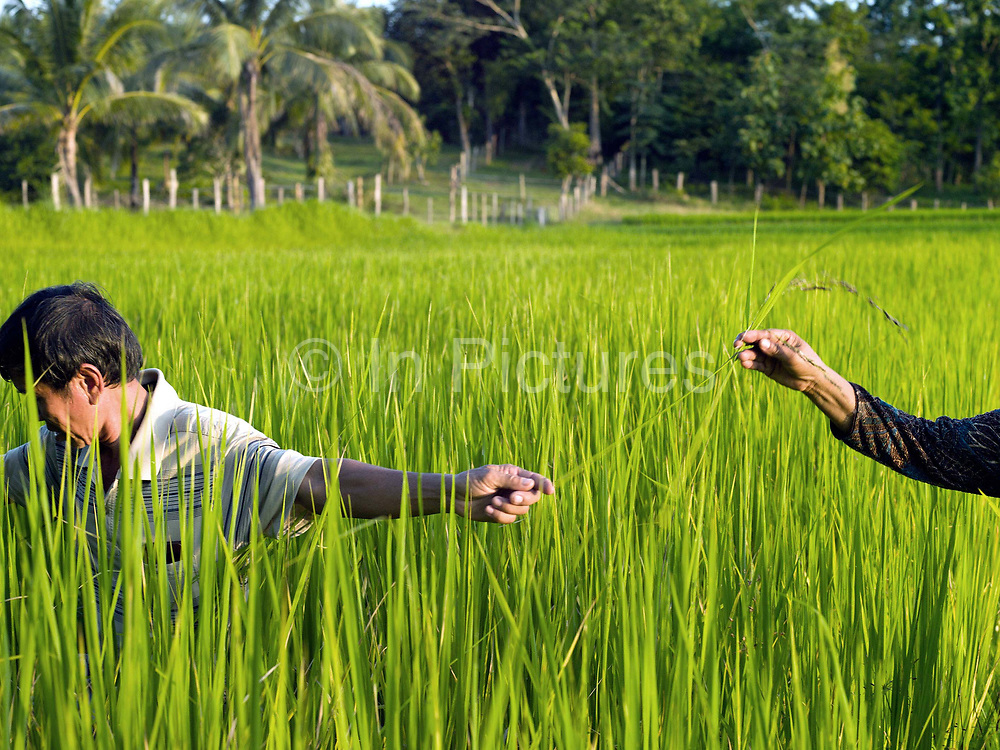 Farmers Somvang and Bounthit Inthavong weeding their rice field in Tao Than village, Vientiane Lao PDR. They produce organic brown sticky rice, various kinds of bamboo, and fruit and vegetables including green beans, morning glory, lemons and mangos. This area has been hard hit by climate change over recent years and the farming-dependent family is feeling the effects.