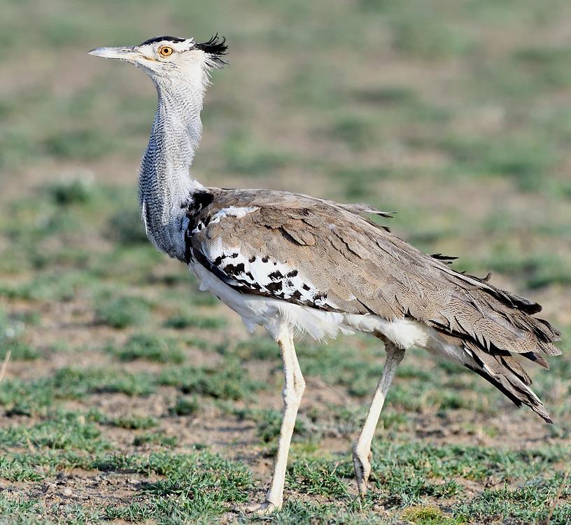 A kori bustard (Ardeotis kori). Sinya Wildlife Management Area, Tanzania.