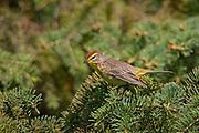 Palm warbler (Setophaga palmarum)  in spruce tree<br />Winnipeg<br />Manitoba<br />Canada