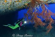 diver examines tree of black coral, Antipathes dichotoma, at Niihau Arches, between Lehua Rock and Niihau Island, off Kauai, Hawaii