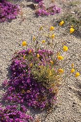 California Poppies & Purple Mat