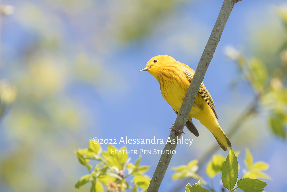 Yellow warbler (Setophaga petechia), a tiny, colorful songbird in the wood-warbler family. Photographed at Magee Marsh Wildlife Area in northwest Ohio, a prime stopover point for neotropical migratory birds in spring.