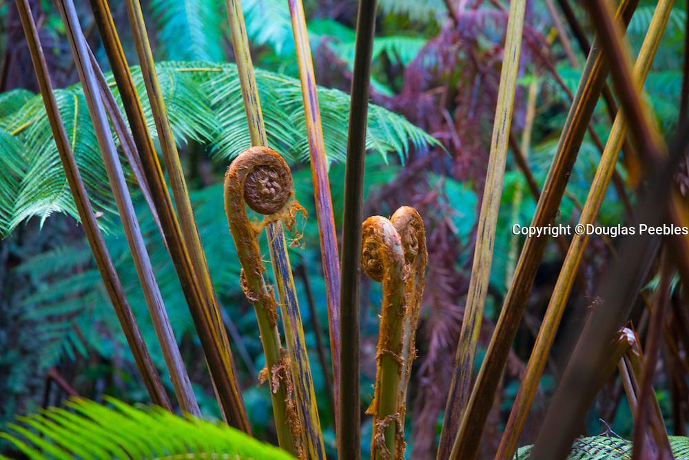 Amau fern, Thurston Lava Tube, Hawaii Volcanoes National Park,  Big Island of Hawaii