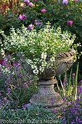 Stone urn with Scaevola 'White Wonder' - Fairy Fanflower, Rosa 'Royal Jubilee' - Pink English Rose by David Austin, Erysimum 'Bowles Mauve'  - September